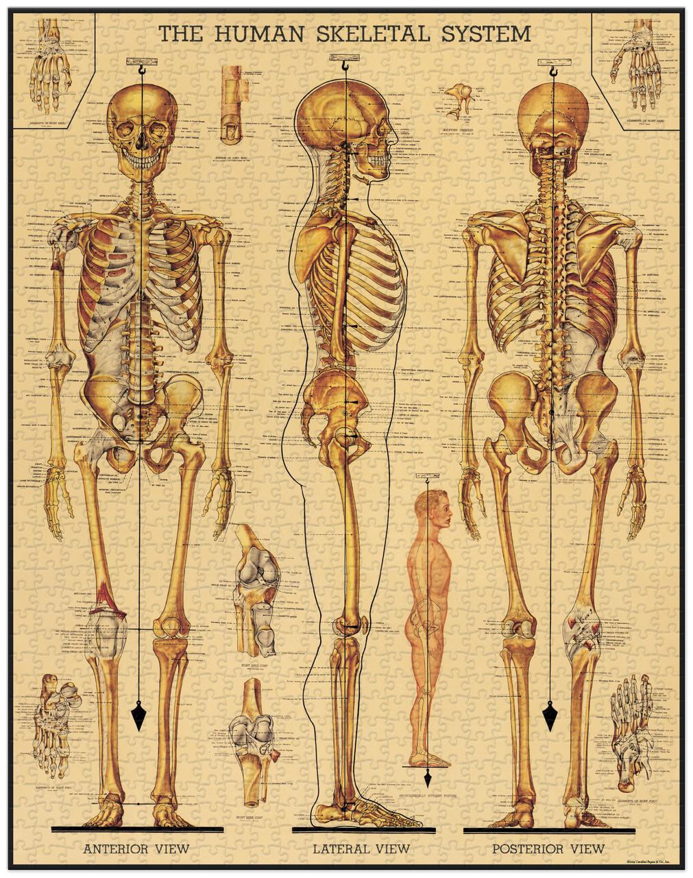 Skeletal System Vintage Puzzle image 3